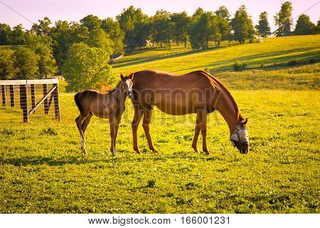 Mare with her foal in pastures of horse farms on sunset. selective focus