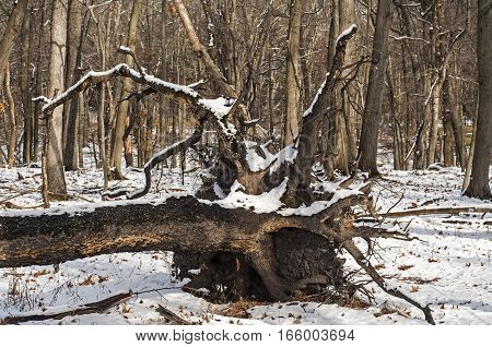 Fallen of wind tree in winter forest