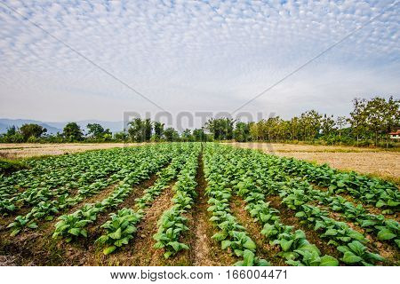 Tobacco field with beautiful altocumulus clouds background