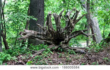 A picturesque snag made of the roots of a fallen tree.