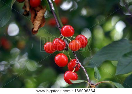 Fruits in Montmorency sour cherry tree (Prunus cerasus) in Joliet, Illinois during June.