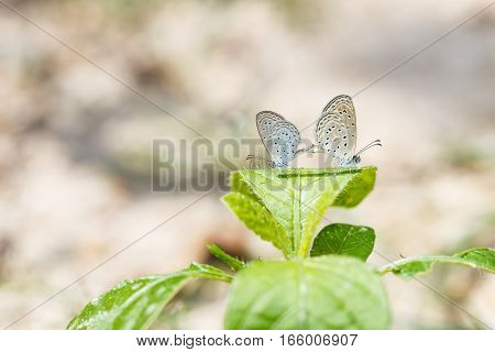 Mating Of Tiny Grass Blue Butterfly On Plant