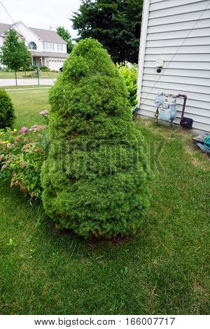 A dwarf Alberta spruce tree (Picea glauca `Conica´) grows in a yard beside a home in Joliet, Illinois.