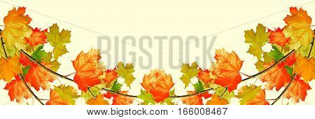 Branch bright colorful autumn leaves. Indian summer.