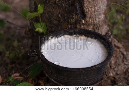 Close Up Latex From Natural Rubber Tree, Hevea