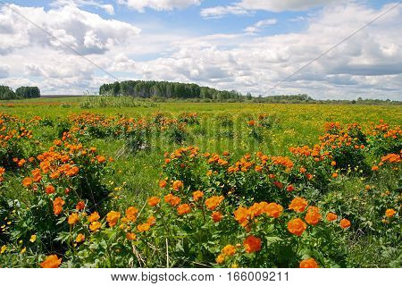 Plant Asiatic Globe-flower ( lat. Trollius asiaticus ) in their natural habitat. The coastal area of the river Inya cherepanovsky district Novosibirsk oblast Siberia Russia