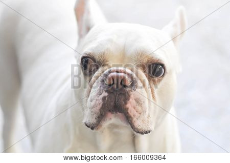 an absent minded French bulldog or white French bulldog near the door