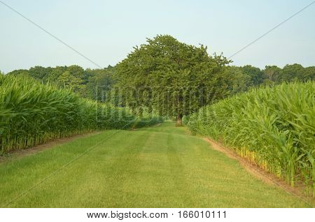 Lush and mature field of corn crop and some green grass open space