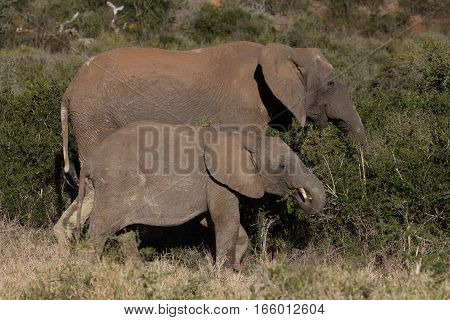 Elephant mother and calf standing side by side in bushland, South Africa