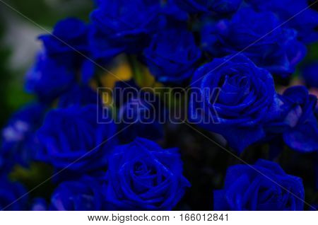 Dark Blue Rose Dark tone. Can use for Background Texture or Wallpaper