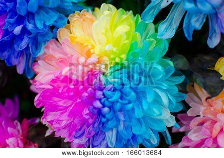 Close up Chrysanthemum Rainbow Real Flower. Can use for Background Texture or Wallpaper