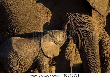 Small elephant calf suckling in evening sun in African bush