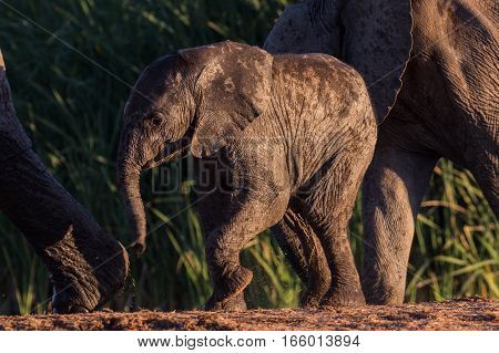 Baby wild African elephant takes a step in the middle of its herd, South Africa