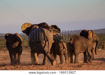 Group of African elephants runs away into the bush, South Africa