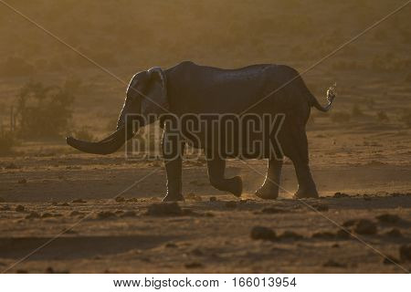 Single elephant walking through dusty African bush at sunset, South Africa