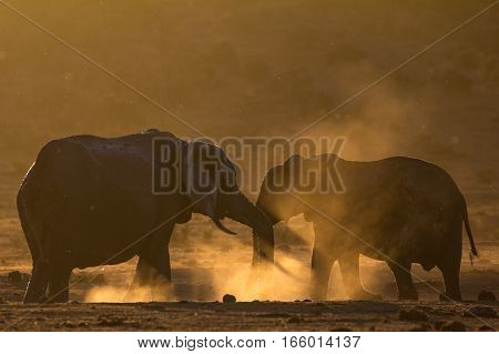 Two African elephants kicking up dust in Golden light, South Africa