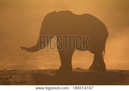 Silhouette of a single African elephant at sunset, South Africa