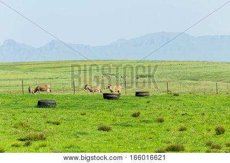 Farm field with donkeys kid foal in rural mountain summer landscape
