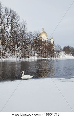 White swan wintering on the Tsna river in Morshansk