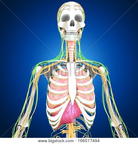 The human body is the entire structure of a human being and comprises a head, neck, trunk (which includes the thorax and abdomen), arms and hands, legs and feet. Every part of the body is composed of various types of cell.