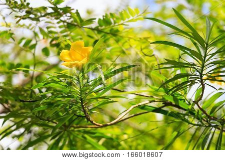 Beautiful yellow oleander flower or Cascabela thevetia