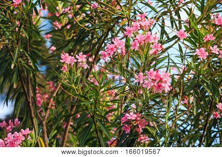 Beautiful lush pink flower of mediterranean oleander or Nerium