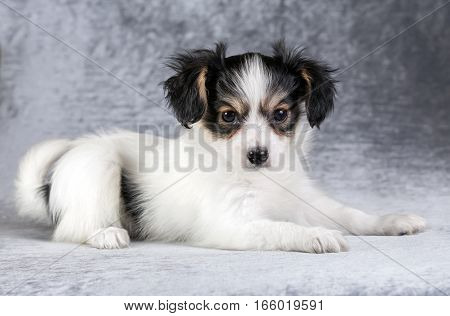 Cute puppy of the Continental Toy spaniel on a gray background