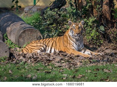 Bengal tiger at a wildlife sanctuary in India. The Bengal tigers are considered endangered species in the family of big cats.