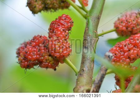 Red Mulberry On The Tree
