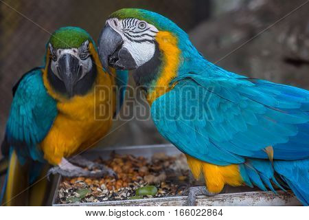 Yellow blue macaw birds having food at a bird sanctuary in India.