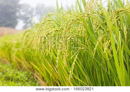 rice field in this morning to be fresh and Rice is the staple food of many countries in the world.