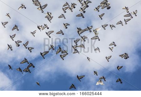 Pigeons Flying In Formation Under Cloudy Sky