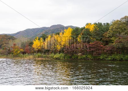 peak autumn season outside Nami island, South Korea