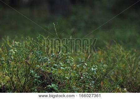 Plants In Autumn Taiga Forest