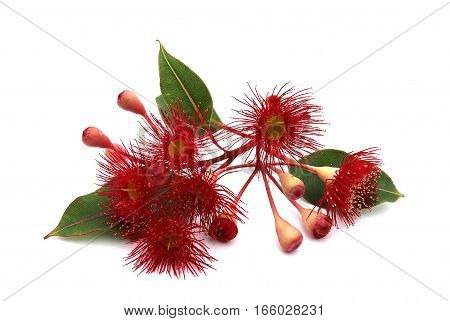 Red eucalyptus flowers with buds and leaves on white background