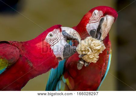 Scarlet macaw birds share food at a bird sanctuary in India. Closeup portrait shot.