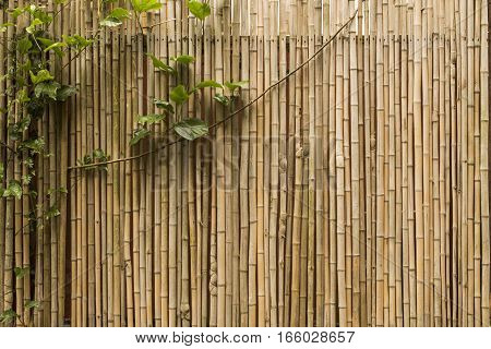 Creeper plant growing against a bamboo wall