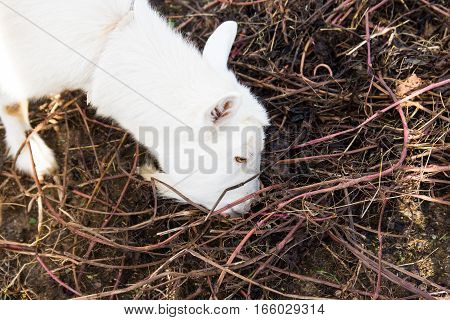 enclosed goat eating leaves, shrubs, hay and twigs