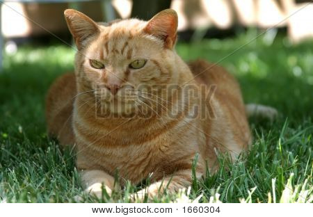 Very fat and content orange tabby relaxing on a green lawn. poster