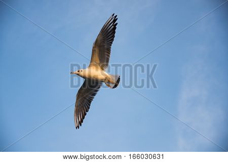 a soaring sea gull waiting to find it's prey
