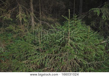 Little Fir Trees