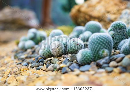 Beautifully arranged cactus in botanical garden at Doi Angkhang Royal Project Chiang Mai (Thailand)