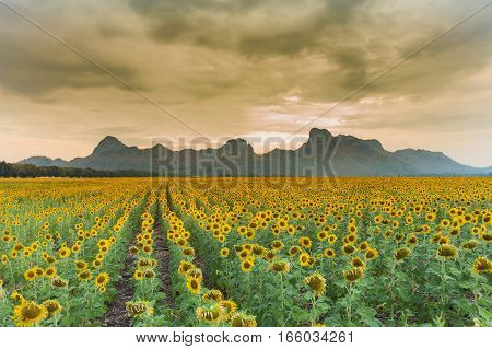 Sunflower field with mountain and rainy sky background natural landscape background