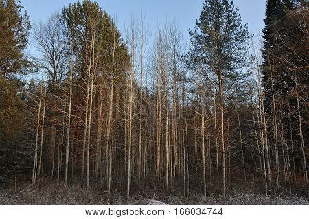 Landscape. Tall trees wall in primeval forest.
