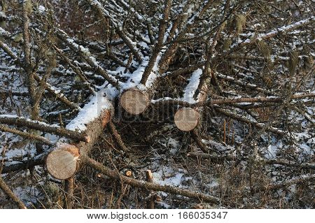 Place of felling of spruce trees close up.