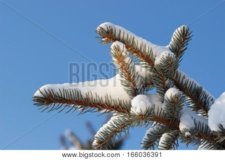 Spruce branch in snow and Blue Sky at winter Time