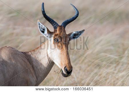 kongoni portrait cows antelope on the African savannah Kenya