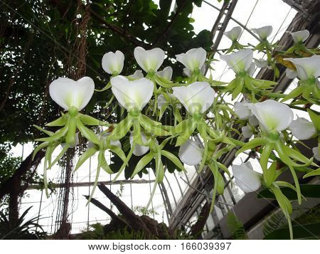 white and green group of Ivory Orchids (Angraecum eburneum)