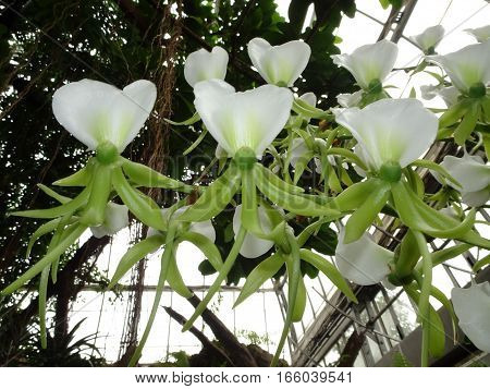 white and green group of ivory Orchid (Angraecum eburneum)