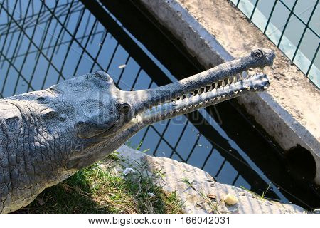 crocodile lives in a kennel Hamat Gader in the north of Israel
